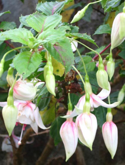 Devon Dumpling fuchsias flowering in November in Ilfracombe