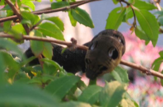 Elephant hawk moth caterpillar eating fuchsia leaves