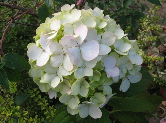 Hydrangea in Ilfracombe flowering in November